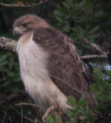 Fuertes' Red-tailed Hawk